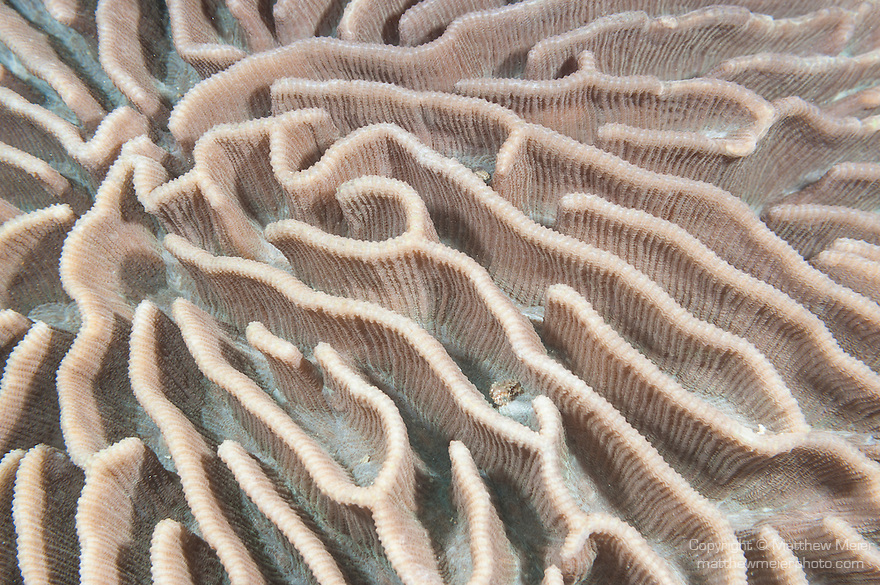 Fakfak Regency, West Papua, Indonesia; a detail view of deeply grooved brain coral