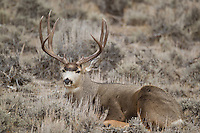 Mule deer lying in sage brush in western Wyoming