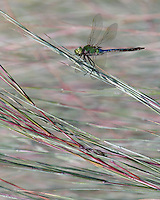 The dragonfly species Anax junius is commonly called the green darner, after its resemblance to a darning-needle.
