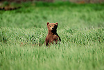 Brown bear cub, McNeil River Bear Sanctuary, Alaska