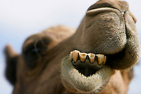 A camel eats grass at the Camel Dairy in Ramona, CA