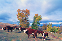 Small Herd of Hereford Cattle / Cows and Heifers standing in a Pasture, British Columbia, Canada