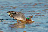 Common Teal - Anas crecca - male