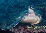 Green sea turtle, Baa Atoll Chelonia mydas