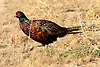 Ring-necked Pheasant (Phasianus colchicus), Palo Alto Baylands Preserve, California
