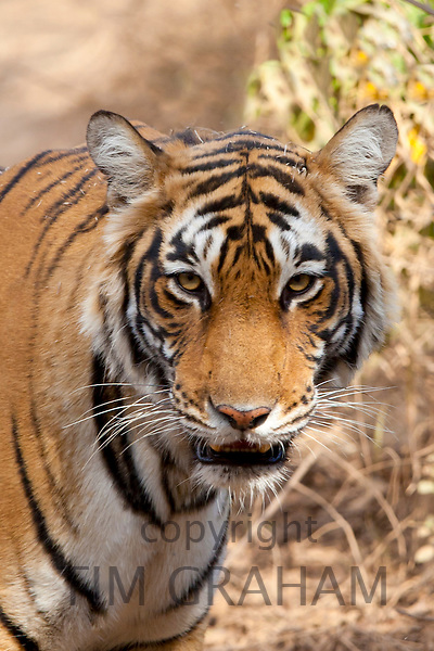 Female Bengal tiger, Panthera tigris tigris, in Ranthambore National Park, Rajasthan, India