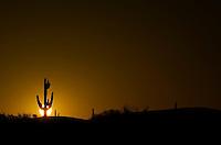 Saguaro Cactus at Sunrise - Phoenix - Arizona