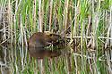 North America, Canada, Alberta, Waterton Lakes National Park.  Beaver collecting willows.