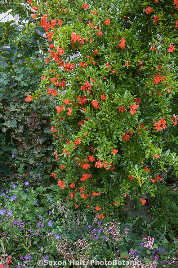 Orange flower pomegranate tree, Punica granatum 'Wonderful' in Arnold Garden