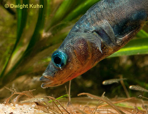 1S74-506z  Threespine Stickleback, Parental Male protecting young, Gasterosteus aculeatus,  Hotel Lake British Columbia