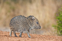 650520158 a baby javelina or collared peccary dicolytes tajacu on beto gutierrez ranch hidalgo county texas united states