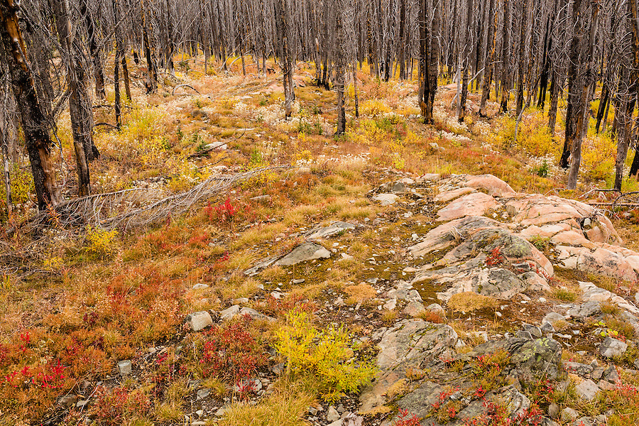 Colorful understory grows underneath a forest of burned trees at Hart's Pass, Washington State.