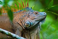 Green Iguana (Iguana iguana) exploring the upper canopy, Costa Rica.
