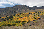 Aspens in autumn on the June Lake Loop