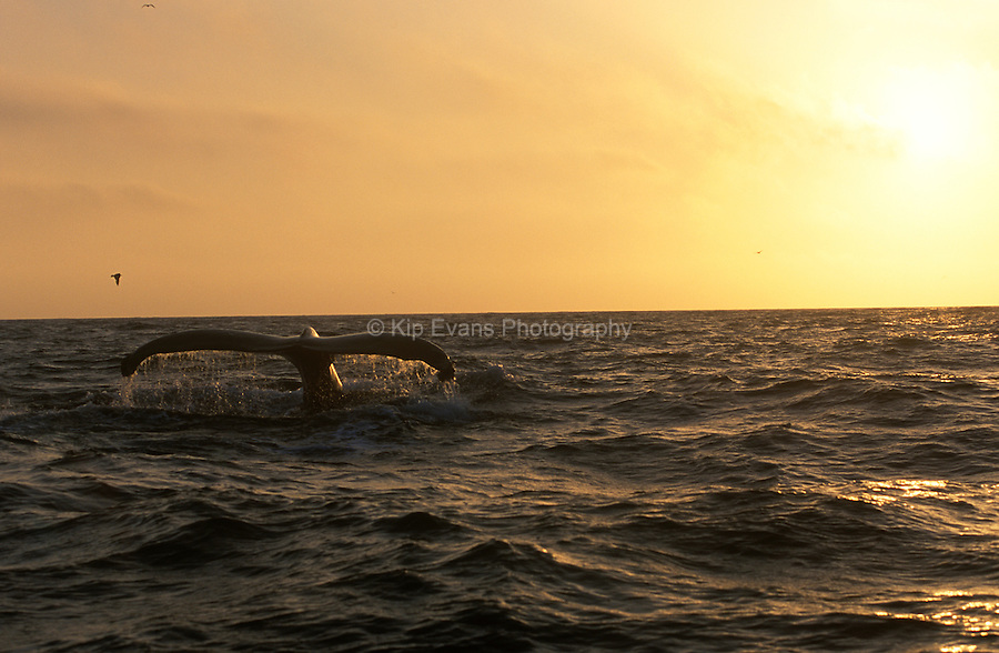 Humpback Whale at Sunset.