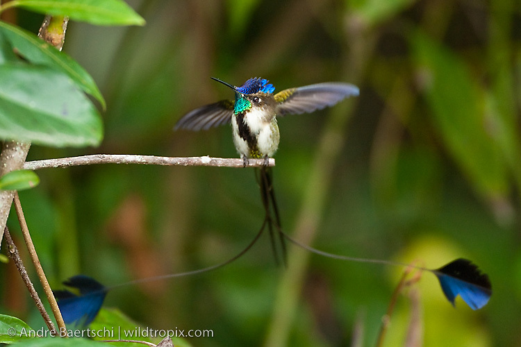 Marvelous Spatuletail Tumblr