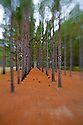 LB00044-00...NORTH CAROLINA  - Planted pine forest