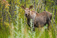 Moose calf, interior, Alaska.