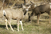 Deer, ruminant mammal belonging to the family Cervidae