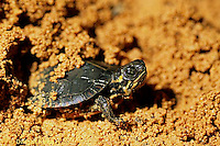 1R13-082a  Painted Turtle - young emerging from nest of sand - Chrysemys picta