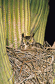Great Horned Owl (Bubo virginianus) nesting in cactus....