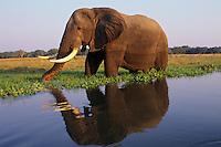 African Elephant bull (Loxodonta africana) feeding along the edge of the Zambezi River, Mana Pools National Park, Zimbabwe.
