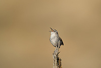 598030017 a wild bewick's wren thryomanes bewickii sings or vocalizes while perched on a twig in kern county california united states