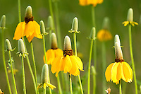 The Upright Prairie Coneflower is one of the dominant species on the prairie. It is a perennial with a spreading root system.