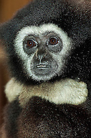 White-handed Gibbon head (Hylobates lar). Captivity.