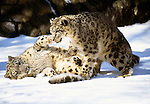 Snow leopards (captive)
