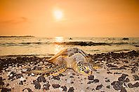 green sea turtle, Chelonia mydas, basking on the beach at sunset, Anaehoomalu or `Anaeho`omalu Bay, Waikoloa, Kohala Coast, Big Island, Hawaii, USA, Pacific Ocean