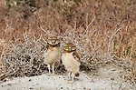 Burrowing owlets, Owens Valley, California, USA