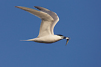 Sandwich Tern (Sterna sandvicensis), Texel, the Netherlands
