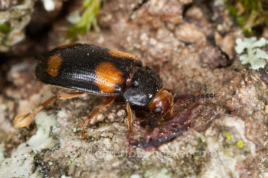 Vierfleckiger Baumschwammkäfer, Baumschwamm-Käfer, Mycetophagus quadripustulatus, hairy fungus beetle, Mycetophagidae, hairy fungus beetles