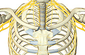 A superior anterior view of the nerve supply of the upper body.   Royalty Free