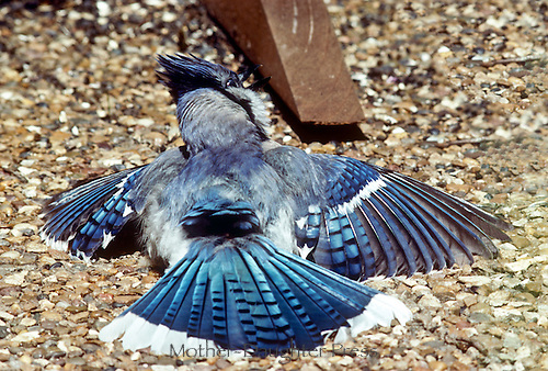 Blue jay on ground flutters wings, demonstrating to another male jay near bird feeder