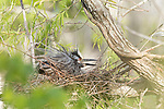 Brazoria County, Damon, Texas; a yellow-crowned night heron greets it's partner by raisingn it's feathers while sitting on eggs in it's nest, situated on a tree branch in early morning sunlight
