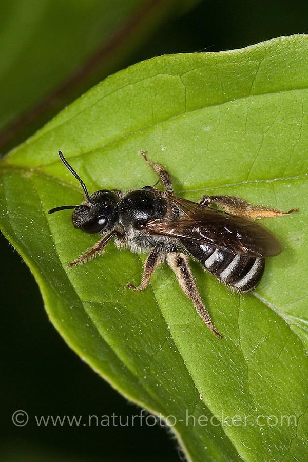 Furchenbiene, Schmalbiene, Furchen-Biene, Schmal-Biene, Lasioglossum spec., (leucozonium-Gruppe bzw. Untergattung Lasioglossum s.str.), sweat bee, European halictid bee, Furchenbienen, Schmalbienen