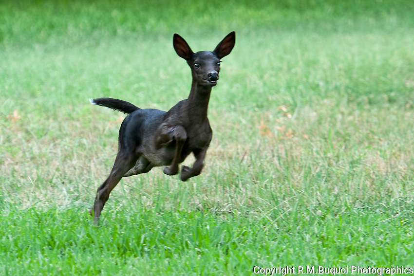 Black Whitetail Fawn running