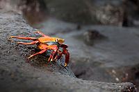 Sally Lightfoot crab, South Plaza Island, Galapagos Islands, Ecuador