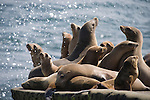 La Jolla Cove, San Diego, California; a large number of California Sea Lions (Zalophus californianus) warm themselves out of the water, along the rocky shoreline, as water sprays over them from a crashing wave, their fur dry from long exposure to sunshine