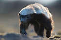 Digging Honey Badger (Mellivora capensis) in Kalahari, Botswana