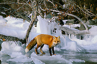 Red Fox along edge of frozen lake.