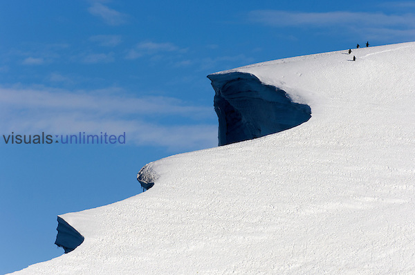 Adelie Penguins walking on an enormous cornice at Cape Crozier, Antarctica on their way to nests on the other side.