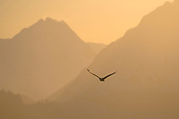 Bald Eagle soars over the Chugach mountain morning sunrise, Homer, Southcentral Alaska