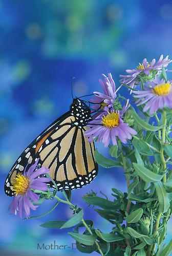 Monarch butterfly (Danaus plesxippus) on purple aster flowers