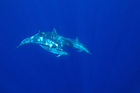 long-snouted spinner dolphins, Stenella longirostris, off Kona Coast, Big Island, Hawaii, Pacific Ocean