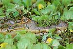 Spectacled caiman , Venezuela