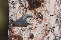 Pygmy Nuthatch,Sitta pygmaea,adult feeding young at nesting cavity in pine tree, Rocky Mountain National Park, Colorado, USA