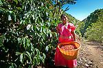 Panamanian Indian coffee picker working a coffee farm in San Marcos de Terrazu, Costa Rica.